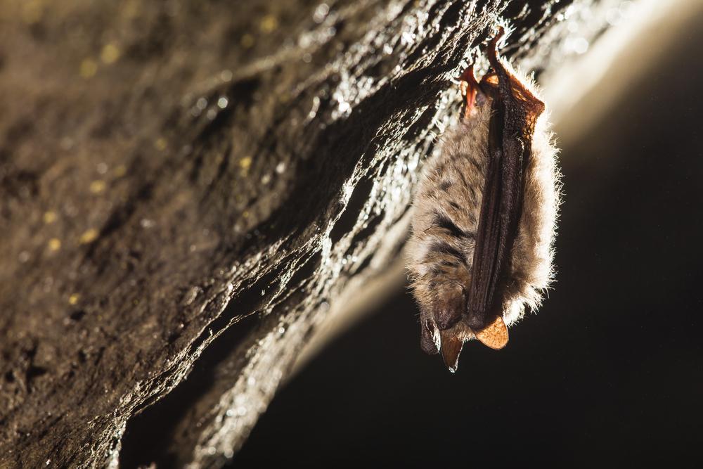When do Bats Come Out of Hibernation in Ontario?