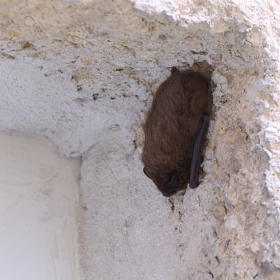 bat hanging on the wall stouffville