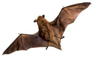 big brown bat aurora