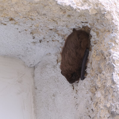 little brown bat hanging on the wall