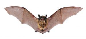 little brown bats etobicoke