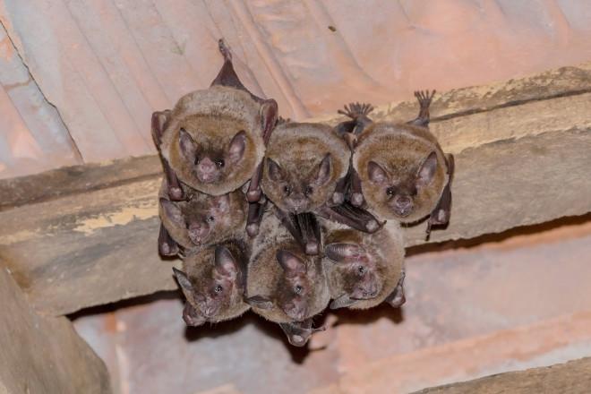 Bats Hibernating in House